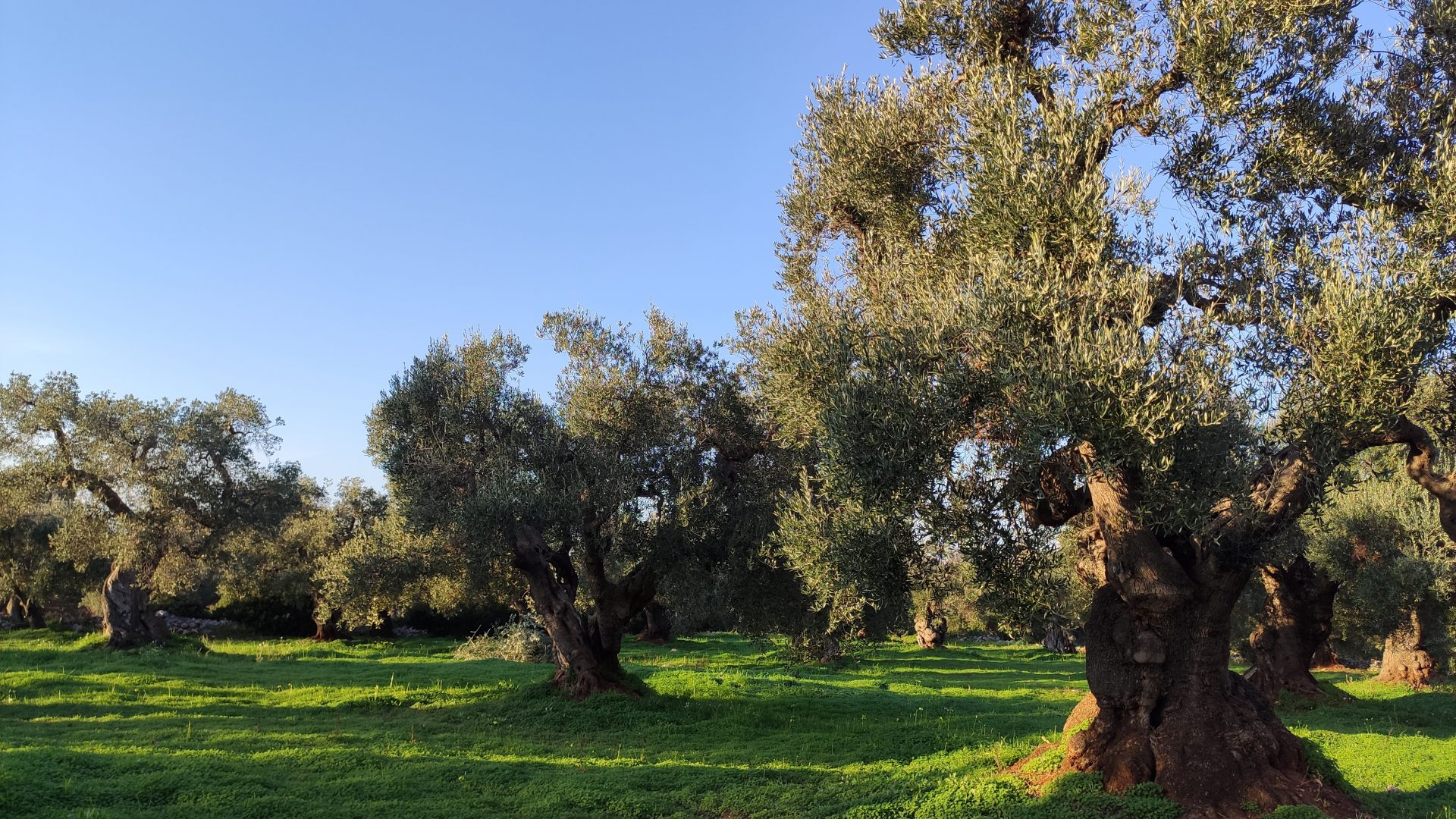 Ancient olive trees surrounding Masseria Bellavista Ostuni Vacation holiday rental villa in Puglia with pool and seaview